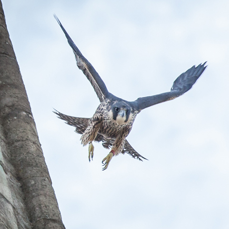 bird control with falcons
