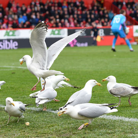 seagull control at AFC