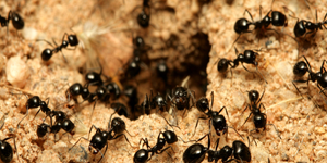 ants, insects control